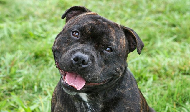 Learn all about Staffordshire Bull Terrier breeders, adoption, health, grooming, training, and more.