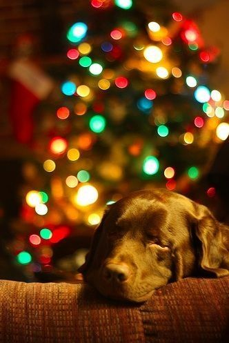 Waiting for Santa... Chocolate Labrador Retriever Merry Christmas Card Puppy Holiday Dogs Santa Claus Dog Puppies Xmas Labs