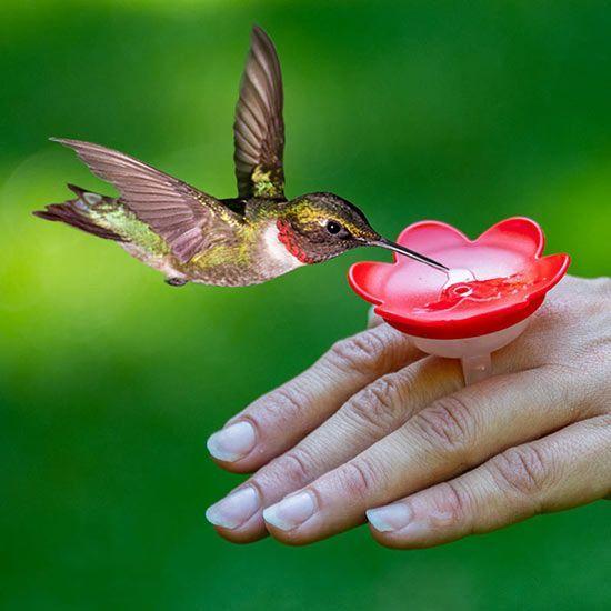 Beck S Hummingbird Ring Hummingbirds Hummingbirds Photography Hummingbird Hummingbird Flowers