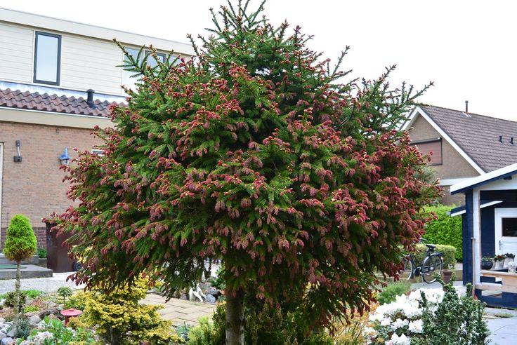 Herman Geers Dwerg en miniatuurplanten. Picea abies 'Rydal'