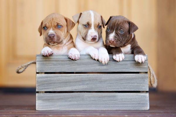 5 Best Puppy Foods For Pitbulls Best Puppy Food Best Puppies