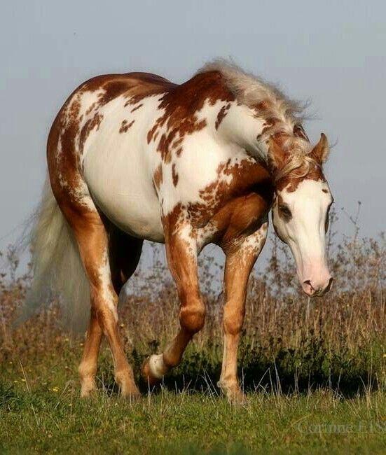 """""""Samy"""" extraordinary Palomino overo paint stallion."""