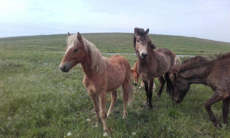 Icelandic Horses Halskov Overdrev Denmark [2560 x 1536] [OC]