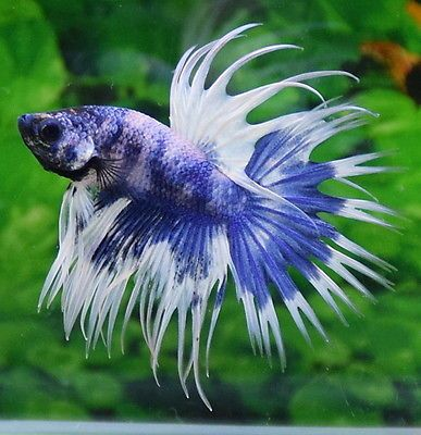 BLUE-WHITE-CROWNTAIL-MALE-BETTA-IMPORTED