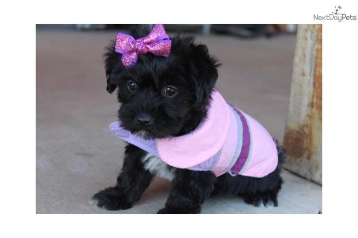 Yorkiepoo - Yorkie Poo Puppy for Sale: Sweet Baby Girl - ea83dd66-a9b1