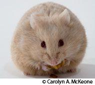 Hamster  Hamster Breed Profile