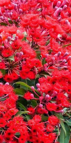 •♥•✿ڿڰۣ(̆̃̃•Aussiegirl #Australia Flowering Australian Gum Tree