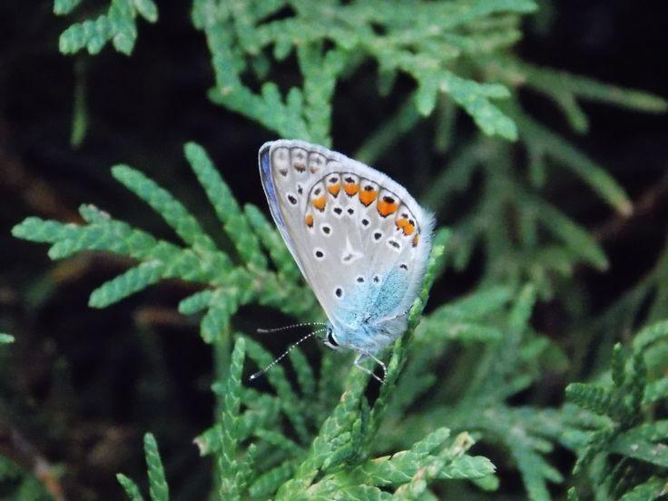 Butterfly in Kőszeg-Mountain