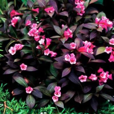 25 beautiful dwarf shrubs full sun ideas on pinterest Sun garden riesling