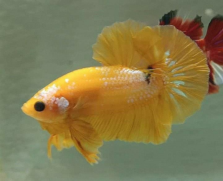 Alicia On Instagram Fancygoldfish Goldfish Goldfishtank Goldfishunion Goldfishkeeper Butterflytelescope Planted Pet Goldfish Goldfish Goldfish Tank