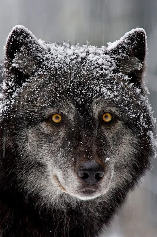 This captive timber wolf gives me a good look during a rare snow storm. Wolves are one of my favorite mammals. Image captured in North Vancouver, BC. Please note this image is copyright protected. Thanks. Please note this image is copyright protected. Thanks.