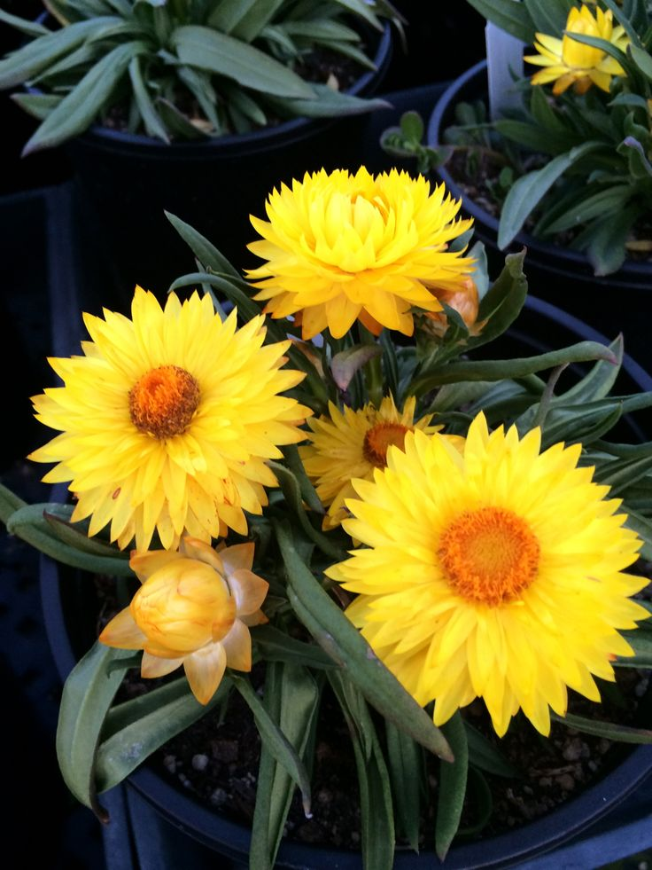 """Bracteantha """"Totally Yellow"""" This Australian Native is a"""