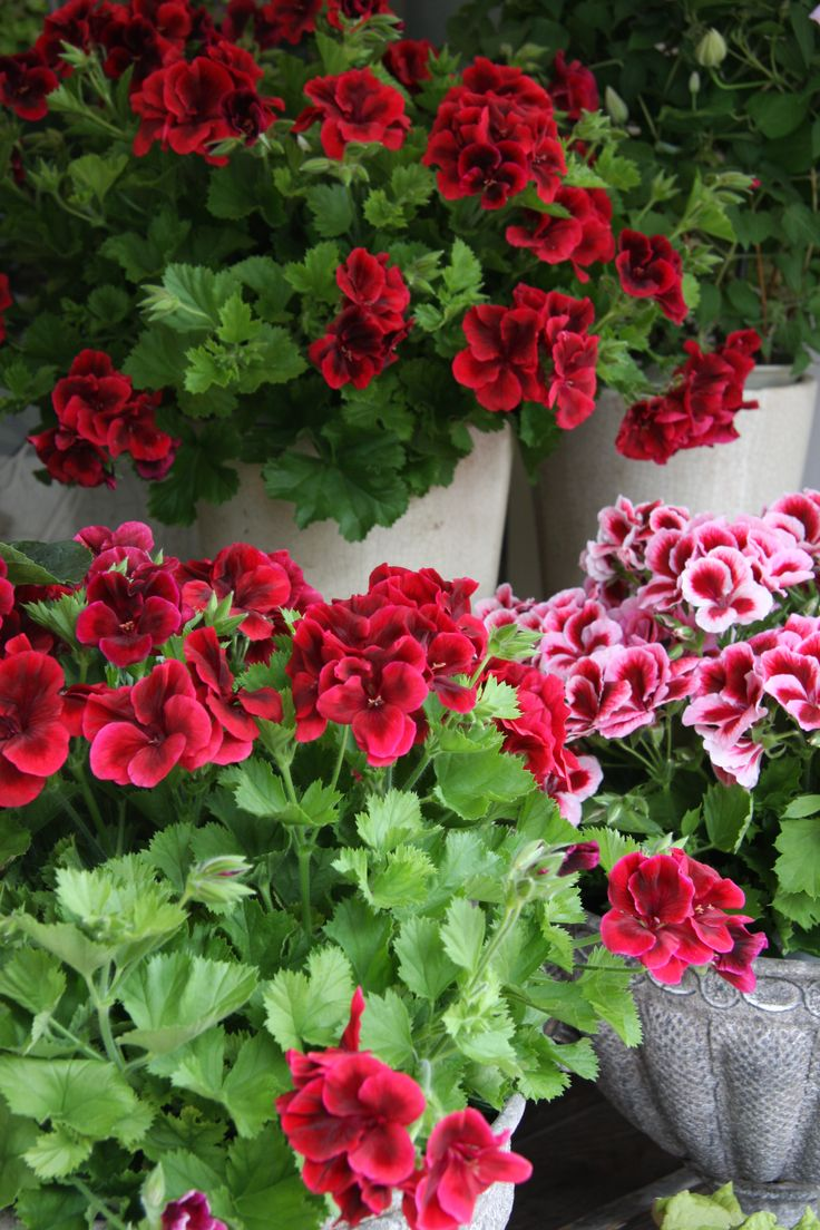 Pelargoniums.. Granny and grandpa loved these resilient flowers.  Cuttings were often gathered from neighbours , friends and along footpaths if they poked out past their own garden!CC