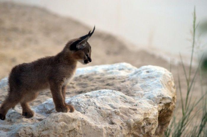 Connaissez-vous le caracal ? Il s'agit d'une race de chat sauvage qui se trouve en Asie, en Afrique et en Inde. Il y est tout de même assez rare car il s'agit d'une espèce menac&...