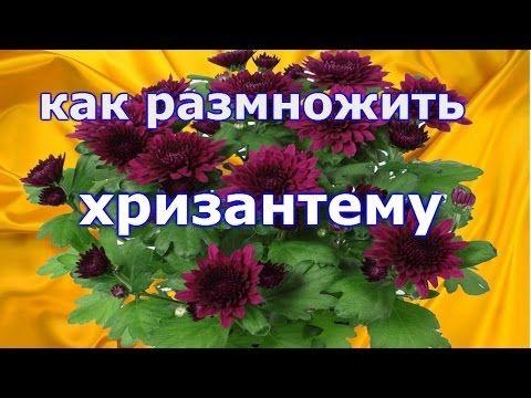 Как правильно черенковать хризантемы - YouTube
