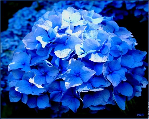 Hortensia: Blue Hydrangea, Beautiful Blues, Blue Hortensia, Flowers Trees Shrubs, Dream Wedding, Colorful Hydrangeas