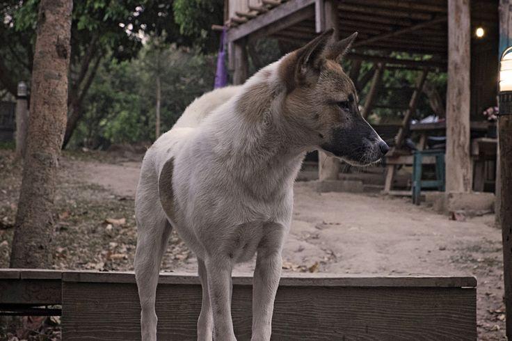 Dogs of Thailand | Photo blog Poème Photographique, Laura Lee Moreau