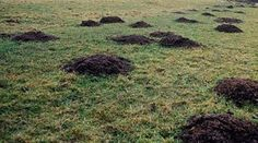 Kill Moles: Get two handfuls of mint stems and leaves, put it into the blender to make a slurry. Put that in a big soup pan half full of water, boil it, and simmer for 30 minutes. You can dilute that to make 6 gallons of mole blaster. Pour into holes and mounds