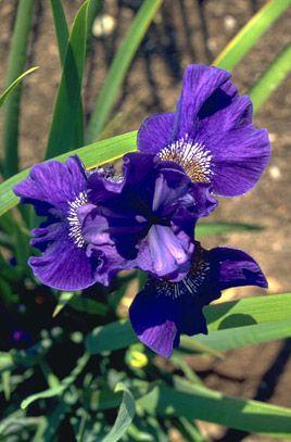 Siberian iris 'Prussian Blue'