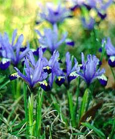 Dwarf Iris: Iris reticulata and Iris danfordiae  mulch in fall, we'll see if it survives winter.  supposed to flower early spring.