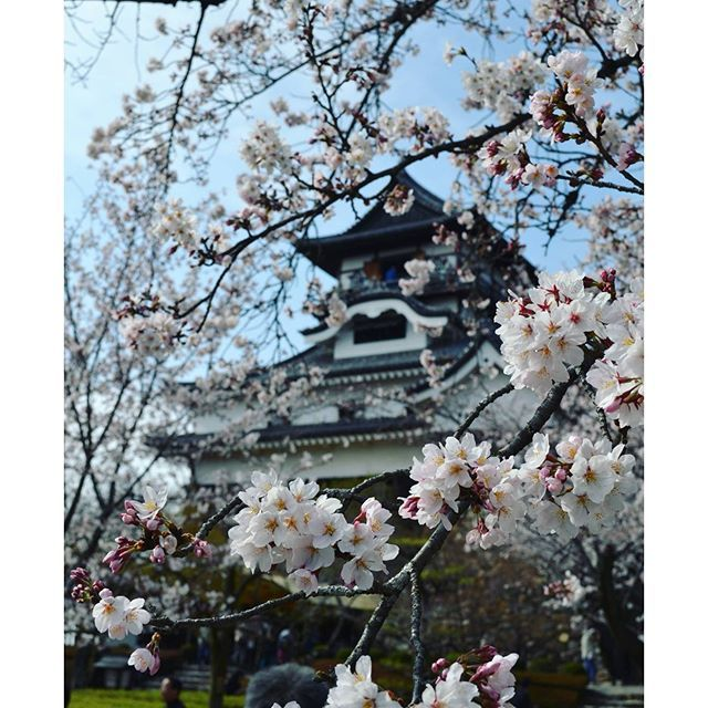 【xiled_waffle】さんのInstagramをピンしています。 《Inuyama castle. Inuyama castle during the Hanami, when the cherry blossoms bloom across Japan #architecture #inuyama #inuyamacastle #hanami #cherryblossom #sakura #castle #flowers #flower #aichi #犬山 #犬山城 #城 #花見 #桜 #建築物 #建築 #建物 #花》