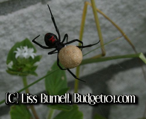 Black Widow Spider Natural Repellent