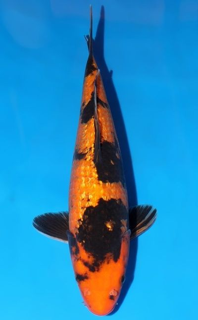 17 best images about koi on pinterest gardens tropical for Male koi fish