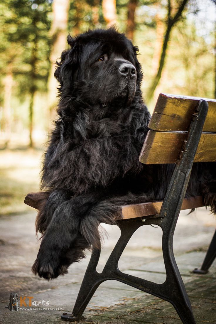Newfoundland dog - very regal