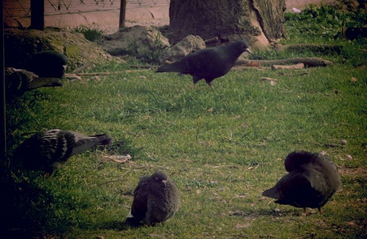 Pigeons rest