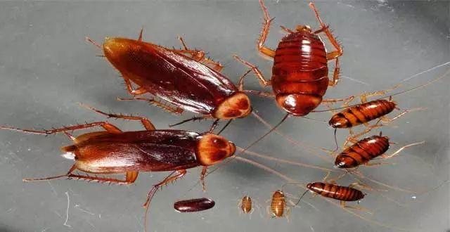 Cucarachas. consejos para eliminarlas.
