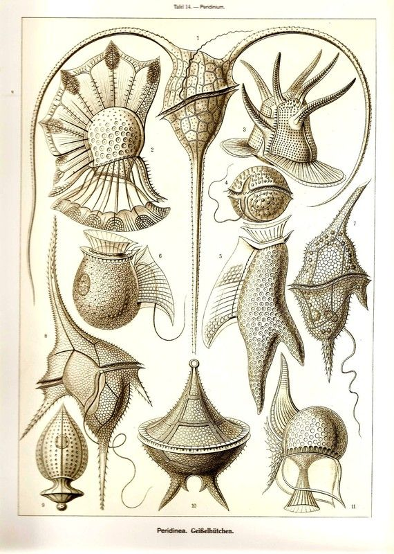 This beautiful doublesided Ernst Haeckel (1834 - 1919) illustration was printed in 2010 in Germany on heavy weight acid-free stock with