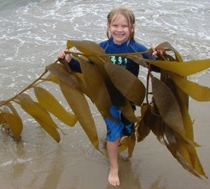 Edible Seaweed of the Pacific Northwest