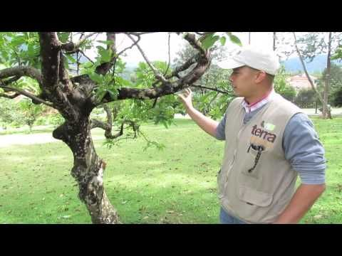 Tratamiento de árboles - Terra Prados y jardines. Daniel Patiño nos cuenta sobre el mantenimiento de los árboles, para evitar los líquenes y hongos que podrían afectar su salud.   www.terra.net.co  Música Last.fm - Josh Woodward - East Side Bar  Tel: (4) 3860181 • Fax: (4) 3861916 • Cel: 315 5862813 Vía las Palmas, Km 17, Centro Comercial Indiana, Of 226. Envigado, Colombia