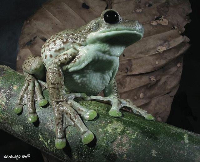 Milk Frog (Phrynohyas sp): Frogs Xo3, Frogs Iguanas Lizards Geckos, Frogs Toad, Milk Frogs, Sucker Toe, Frogs 3, Frogs Phrynohya, Hoppti Frogs, Frogs Frogs Frogs