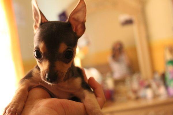 canon rebeldt5 18-55mm #chihuahueño #cachorro  #caro #ramirez