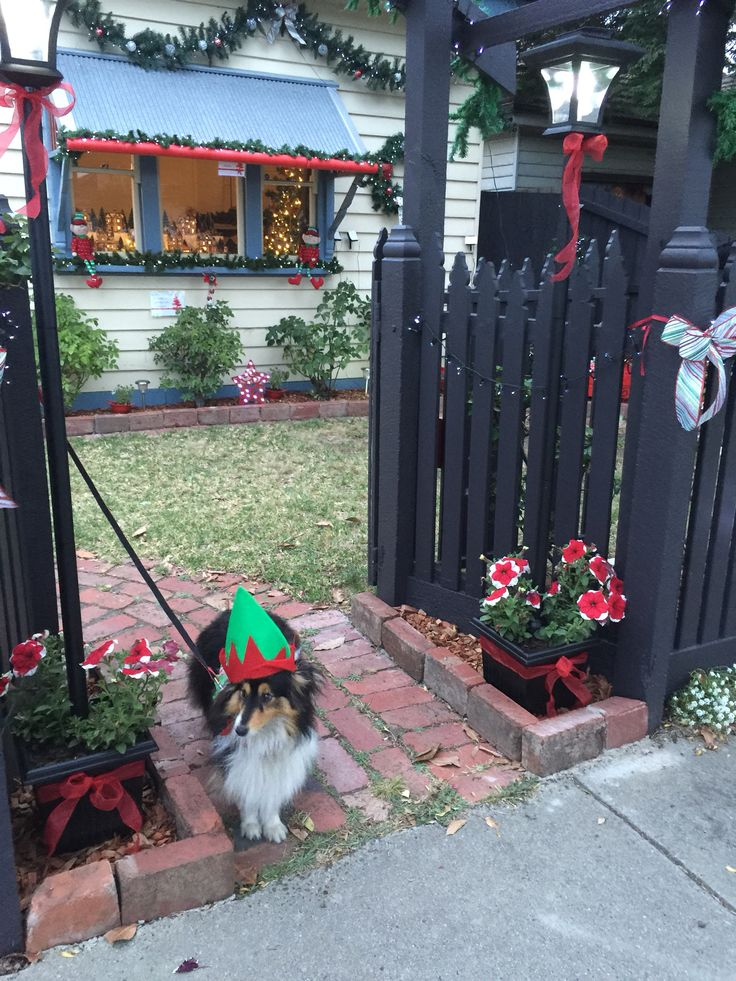 Flynn the sheltie treating people at my Christmas display