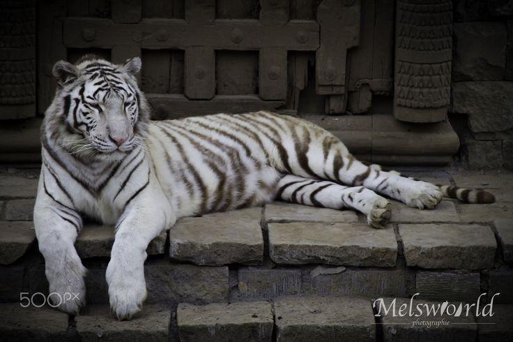 white tiger white tiger in pairi daiza pairi daiza pinterest photos tigres et tigre. Black Bedroom Furniture Sets. Home Design Ideas