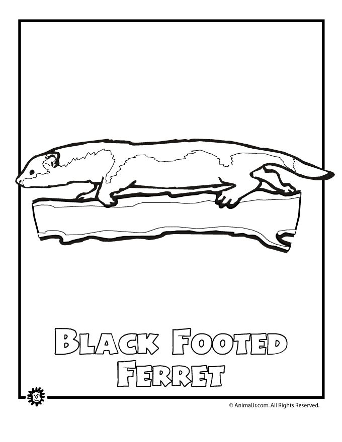 Line Drawings Of Endangered Animals : North american animals coloring pages endangered ferret