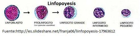 Los linfocitos son los leucocitos sanguíneos del ser humano que se desarrollan en la médula ósea, órganos linfáticos primarios como el timo y la médula ósea y secundarios como el bazo, en el tracto gastrointestinal, amígdalas, adenoides y ganglios linfáticos. Los linfocitos pueden categorizarse en varias formas: pueden ser células de corta o de larga vida; producir anticuerpo o linfocinas, y presentan diferentes cargas de superficie, densidades y receptores de antígenos (Rodak, 2004).