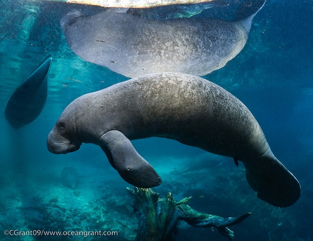125 best Manatees and Sea Cows images on Pinterest