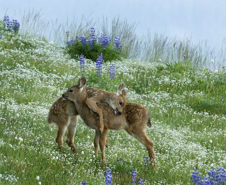 Two young deer playing together in a field filled with white and purple flowers.