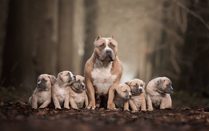 Staffordshire Bull Terriers Brown Dogs And Puppies In 2020 Pitbull Terrier Pitbull Dog Pitbulls