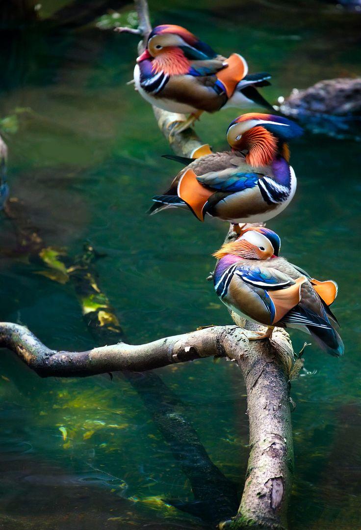 Mandarin Ducks Chillin' by the pool by Alan Shapiro