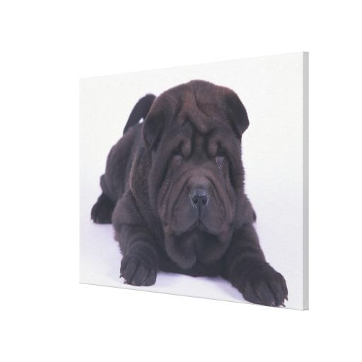 ==> reviews          Shar-Pei Puppy Stretched Canvas Prints           Shar-Pei Puppy Stretched Canvas Prints today price drop and special promotion. Get The best buyShopping          Shar-Pei Puppy Stretched Canvas Prints Review on the This website by click the button below...Cleck Hot Deals >>> http://www.zazzle.com/shar_pei_puppy_stretched_canvas_prints-192418671758665999?rf=238627982471231924&zbar=1&tc=terrest
