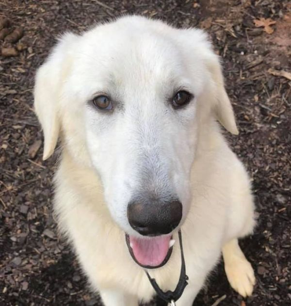 Dogs For Adoption Petfinder Adoption Great Pyrenees Rescue Dogs