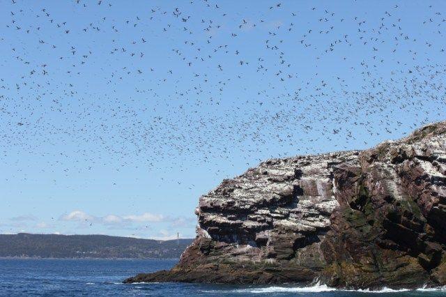 Seabirds in Newfoundland, Canada.