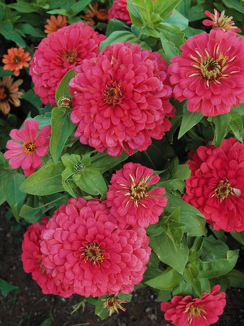 60 Best Zinnias Images On Pinterest Flowers Garden Cut