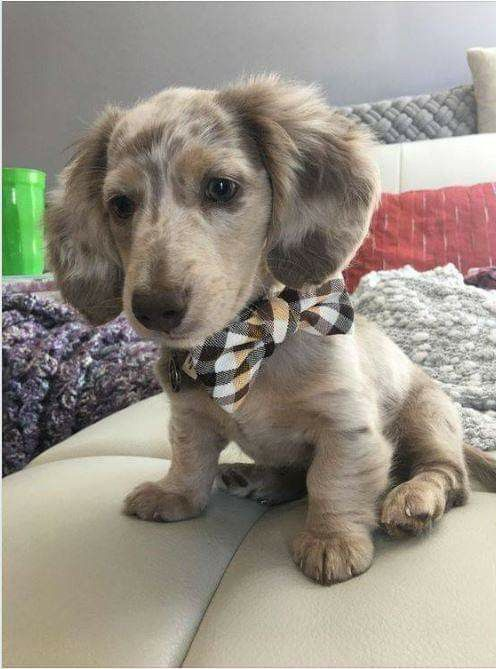 Everything About The Cute Dachshund Grooming Dachshundmini