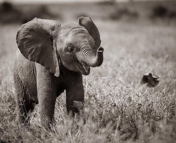 Glückliches Baby Ella! 💗🐘❤️. . . Rette die Elefanten! #beautifulelephants #s …   – B/W And SEPIA Photography