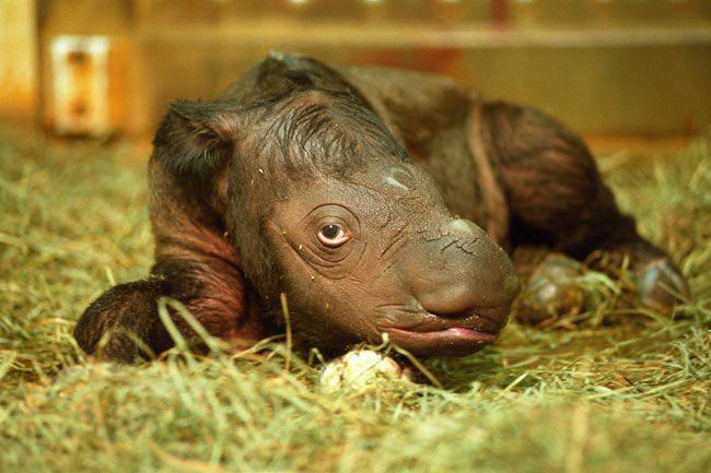 Sumatran Rhinoceros   The Sumatran Rhinoceros